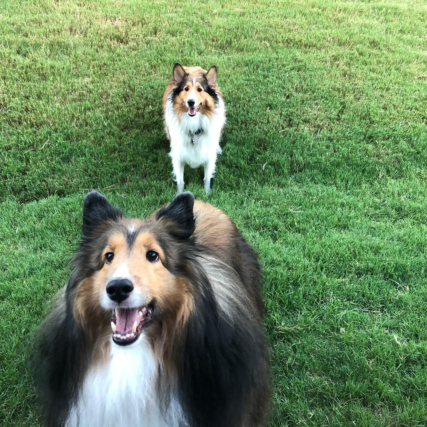 Collies Charlotte, NC Pet Sitting Services